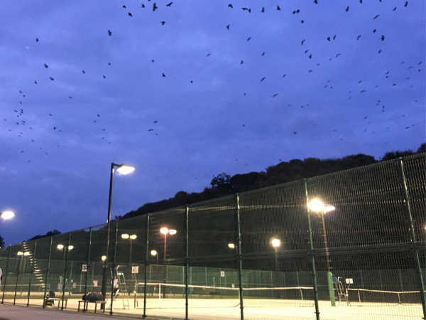 tennis court and crows